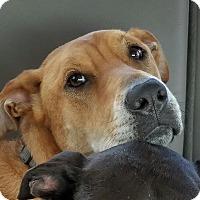 Adopt A Pet :: A - SCOOTER - Seattle, WA