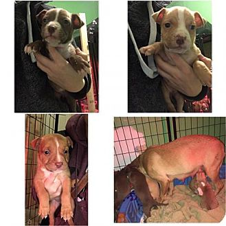 Pit Bull Terrier Mix Puppy for adoption in Custer, Washington - San Juan Puppies!