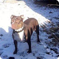 Pit Bull Terrier Mix Dog for adoption in Baltimore, Maryland - Henna