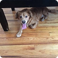 Adopt A Pet :: Hillary - Middlebury, CT