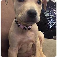 Adopt A Pet :: Rosey - Naples, FL