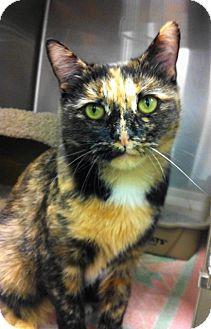 Domestic Shorthair Cat for adoption in Warminster, Pennsylvania - Bobbie