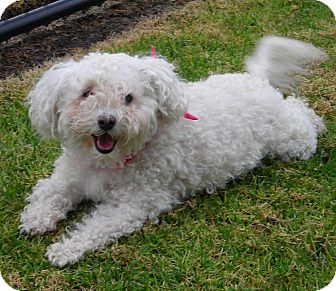 Bichon Frise Dog for adoption in El Cajon, California - Susie