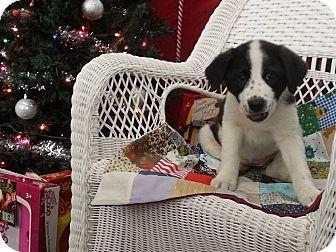 Beagle/Labrador Retriever Mix Puppy for adoption in Linton, Indiana - Jill