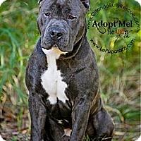 Adopt A Pet :: Mogli - Orlando, FL