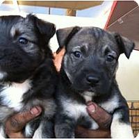 Adopt A Pet :: Barkley - North Hollywood, CA