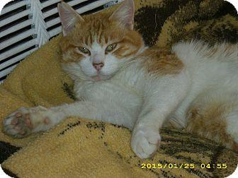 Domestic Mediumhair Cat for adoption in Brea, California - PUMPKIN