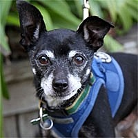 Chihuahua Dog for adoption in Pacific Grove, California - JoJo