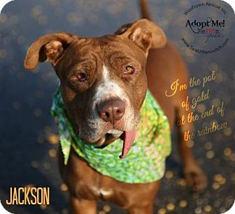 Pit Bull Terrier Mix Dog for adoption in Rochester, New York - Jackson