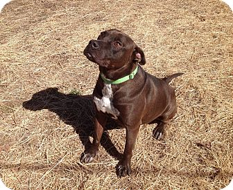 American Staffordshire Terrier/Labrador Retriever Mix Dog for adoption in Union City, Tennessee - KoKo