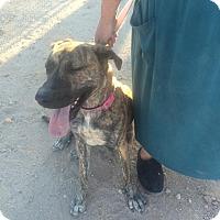 Mastiff Mix Dog for adoption in Phoenix, Arizona - Princess