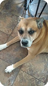 Boxer/Husky Mix Dog for adoption in Caledon, Ontario - Roxi