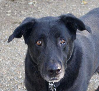 Labrador Retriever/German Shepherd Dog Mix Dog for adoption in Sacramento, California - Max!