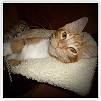 Domestic Shorthair Cat for adoption in Medford, Wisconsin - DAVIS