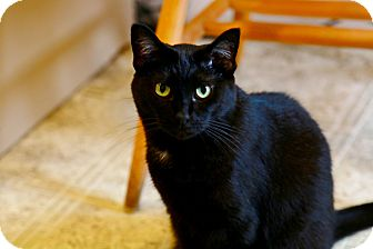 Domestic Shorthair Cat for adoption in Grinnell, Iowa - Salem