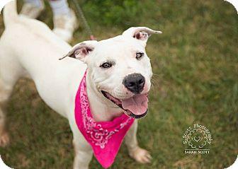 American Pit Bull Terrier Mix Dog for adoption in Zanesville, Ohio - Allie - Urgent!