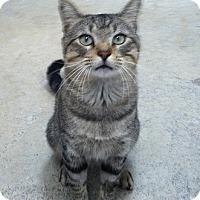 Domestic Shorthair Cat for adoption in Huntsville, Alabama - Atticus