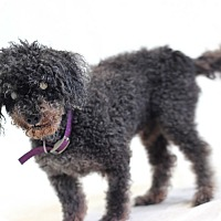 Poodle (Miniature) Mix Dog for adoption in Bradenton, Florida - Curly Joe