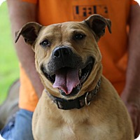 Boxer/American Staffordshire Terrier Mix Dog for adoption in Glastonbury, Connecticut - Mona~new pics ❤️
