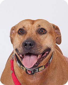 Black Mouth Cur Mix Dog for adoption in Jupiter, Florida - Maggie