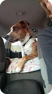 Catahoula Leopard Dog Mix Dog for adoption in Bakersville, North Carolina - Bruce