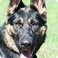 German Shepherd Dog Dog for adoption in Wayland, Massachusetts - Ginger