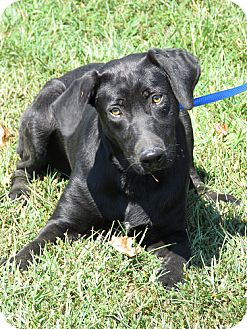 Labrador Retriever Dog for adoption in Falls Church, Virginia - Radar