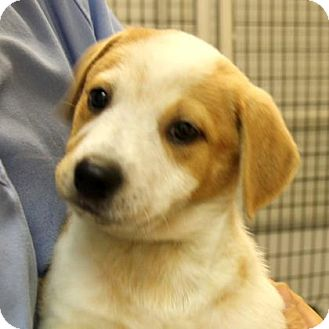 Hound (Unknown Type) Mix Puppy for adoption in Woodstock, Illinois - Crystal