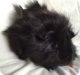 Guinea Pig for adoption in Steger, Illinois - Max