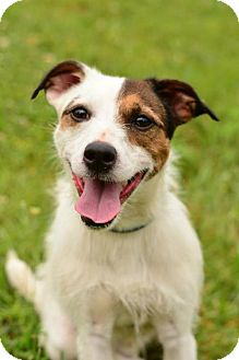 Jack Russell Terrier Dog for adoption in Dillsburg, Pennsylvania - Archie