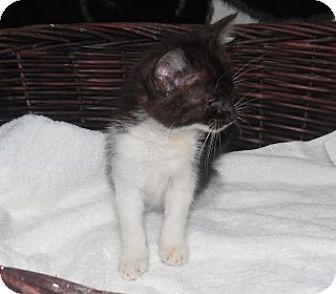 Domestic Shorthair Kitten for adoption in Clarksville, Arkansas - Jasper