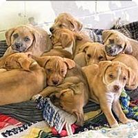 Adopt A Pet :: Dosie - San Luis Obispo, CA