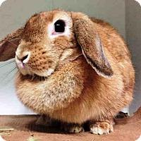 Adopt A Pet :: VANILLA - Brooklyn, NY