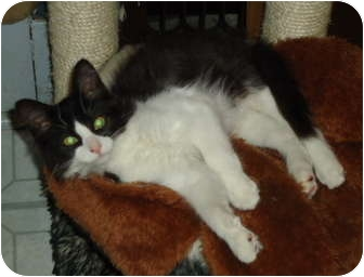 Domestic Mediumhair Kitten for adoption in Elmira, Ontario - Fox