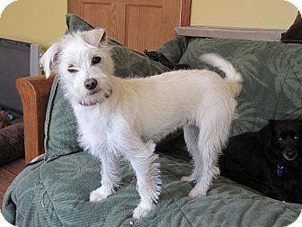 White Chihuahua Terrier Mix