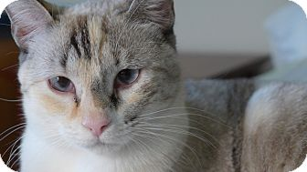Siamese Cat for adoption in Lighthouse Point, Florida - Snowbelle