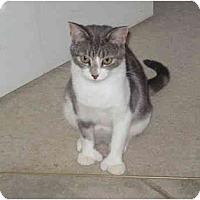 Adopt A Pet :: Mittens - Duncan, BC