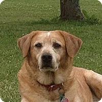 Adopt A Pet :: Bo Bear - Carey, OH