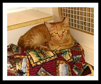 Domestic Shorthair Kitten for adoption in San Bernardino, California - Zimba
