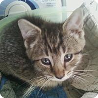 Adopt A Pet :: Gerber Baby - Troy, OH