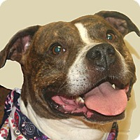 Staffordshire Bull Terrier Mix Dog for adoption in Cincinnati, Ohio - Miller