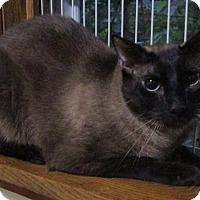 Adopt A Pet :: Suki (young Siamese) - Witter, AR