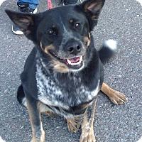 Australian Cattle Dog Mix Dog for adoption in PHOENIX, Arizona - Taylor