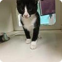 Domestic Shorthair Kitten for adoption in Columbus, Georgia - Bugsy 6885