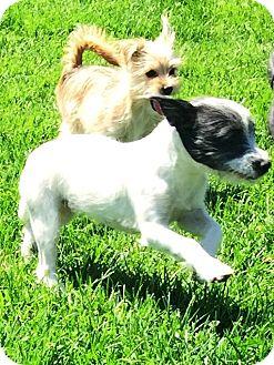 Jack Russell Terrier/Border Terrier Mix Puppy for adoption in Murrieta, California - Jasmine