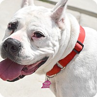 Dogo Argentino Mix Dog for adoption in Pontiac, Michigan - Sheba
