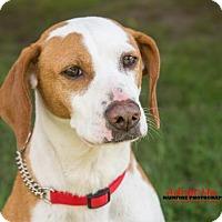 Hound (Unknown Type)/Pointer Mix Dog for adoption in Toronto, Ontario - Ruby