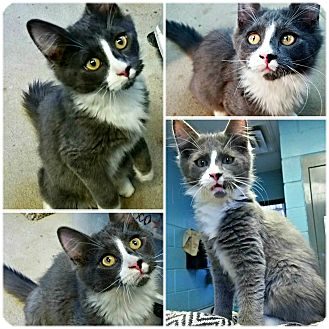 Domestic Mediumhair Kitten for adoption in Forked River, New Jersey - Merlin