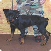 Rottweiler Dog for adoption in Louisville, Kentucky - ALLIE