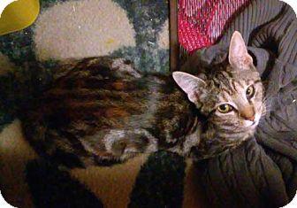 Domestic Shorthair Kitten for adoption in Whitestone, New York - Tiffany